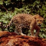 Un jaguar. - Archives