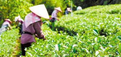 Farmers pick up fresh organic tea bud & leaves in plantation, the famous Oolong tea area in Ali mountain, Taiwan