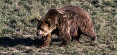 grizzly-bear-1777810_960_720